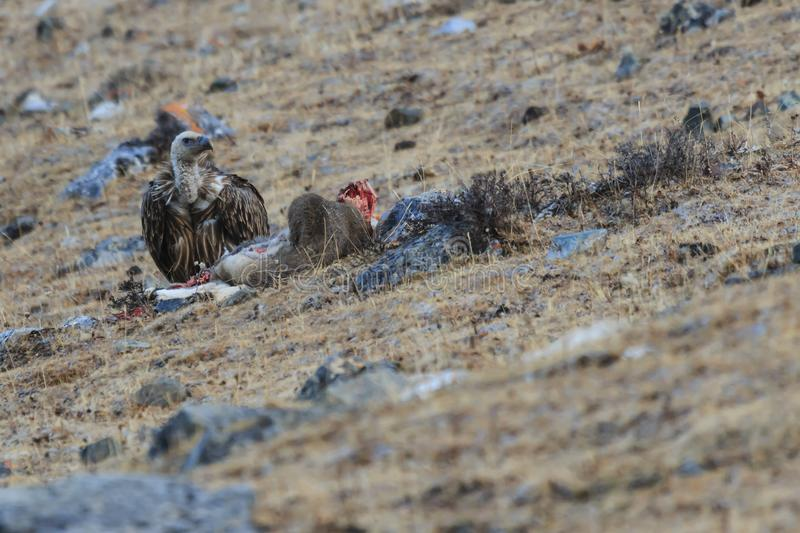 Griffon Vulture Gyps fulvus feeding on a carcass of Blue Sheep Pseudois Nayaur in SiChuan, China.  stock photos