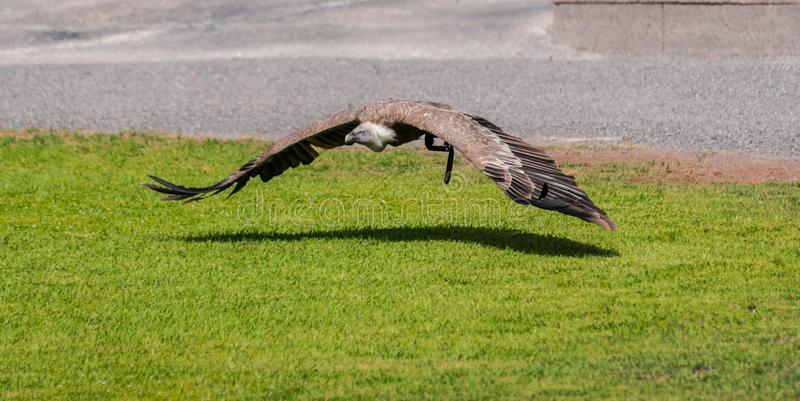 Griffon vulture, Gyps fulvus, flying royalty free stock image