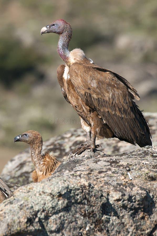 Griffon vulture, Gyps fulvus,. Raptor bird carrion portrait stock images