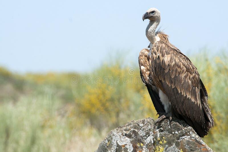 Griffon vulture, Gyps fulvus. Raptor bird carrion portrait stock photo