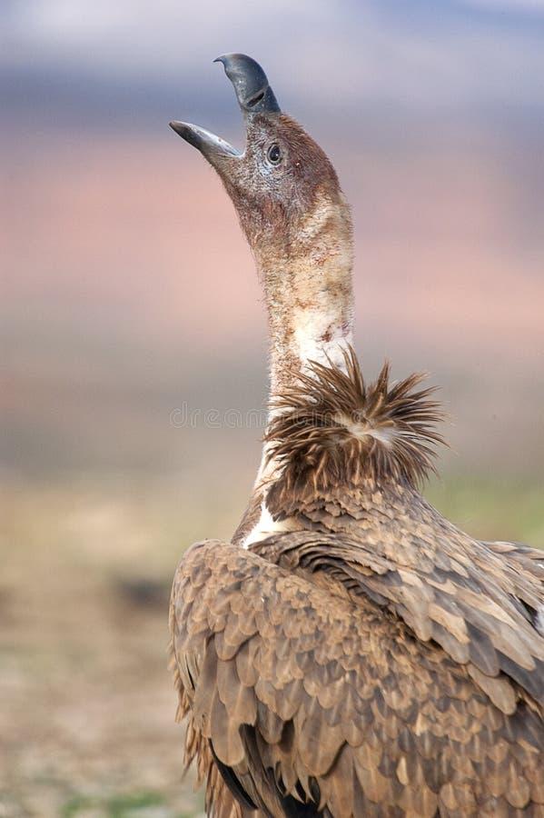 Griffon vulture, Gyps fulvus,. Raptor bird carrion portrait stock image