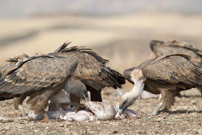 Griffon Vulture Gyps fulvus Group eating carrion, raptors, Spain stock photos