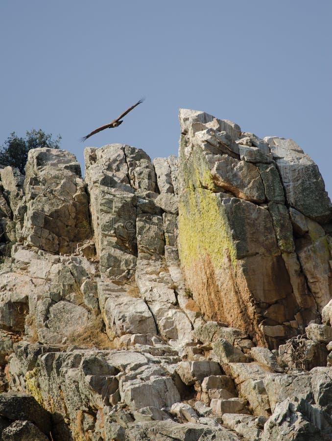 Griffon vulture Gyps fulvus soaring. royalty free stock image