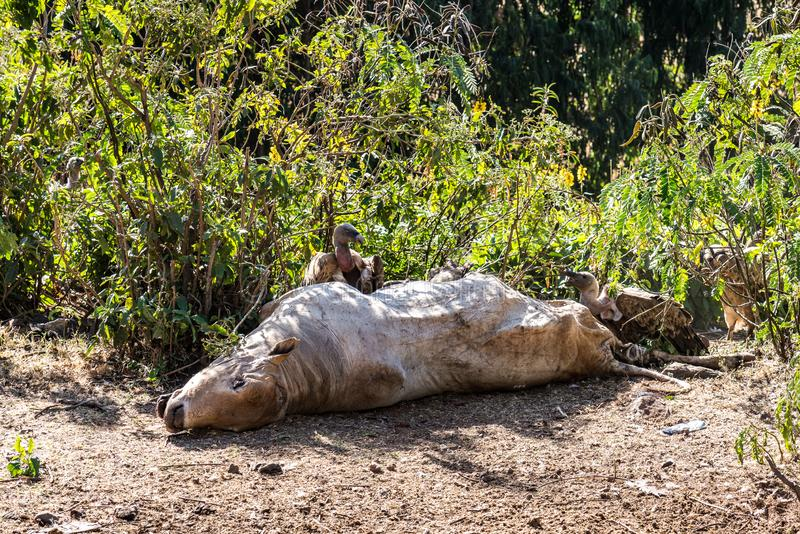 Griffon Vulture Gyps fulvus som ?ter en d?d ko i Etiopien arkivbilder