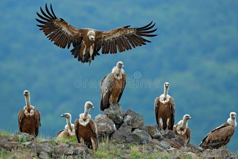 Griffon Vulture Gypsfulvusen, stora fåglar av rovsammanträde på stenen, vaggar berget, naturlivsmiljön, Madzarovo, Bulgarien, öst royaltyfria foton