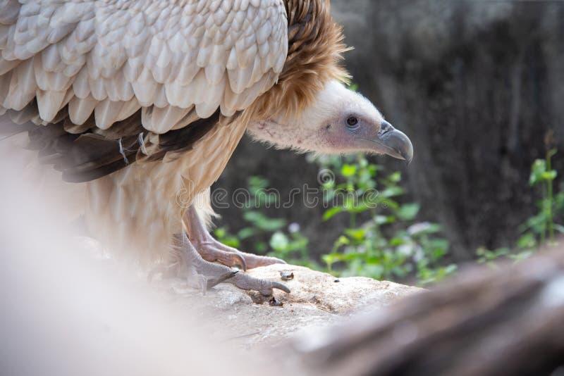 Griffon Vulture imagem de stock royalty free