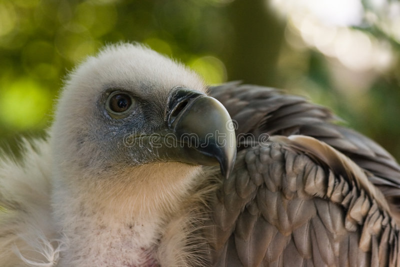 Griffon Vulture looking around. Griffon Vulture sitting in the shadow and looking around royalty free stock image