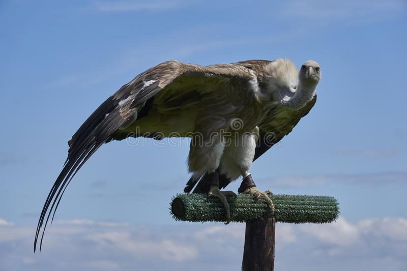 Griffon vulture looking intimidating into the camera with spread wings. At bird show royalty free stock image
