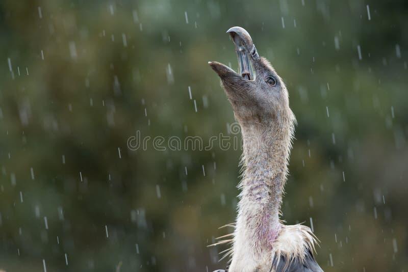 Griffon Vulture na chuva fotos de stock