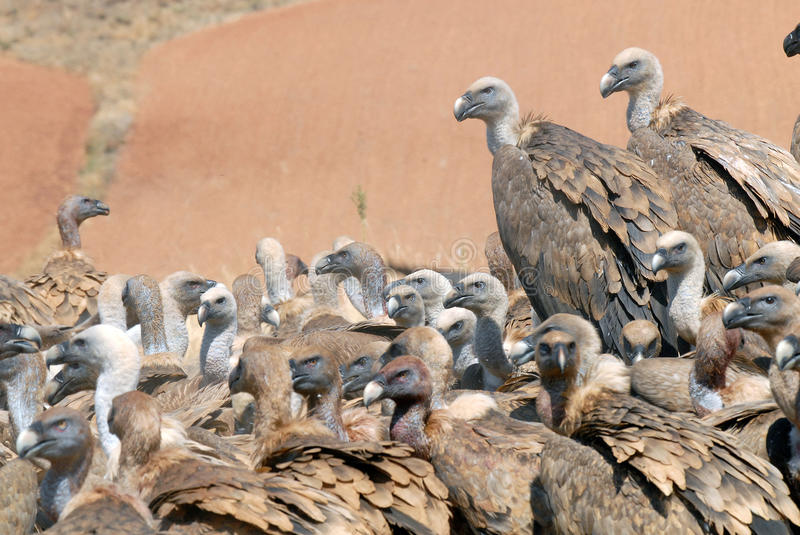 Download Griffon Vulture And Natural Landscape Stock Photography - Image: 18409472