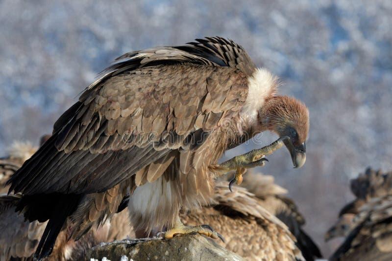 Griffon Vulture Scratching na paisagem do inverno foto de stock
