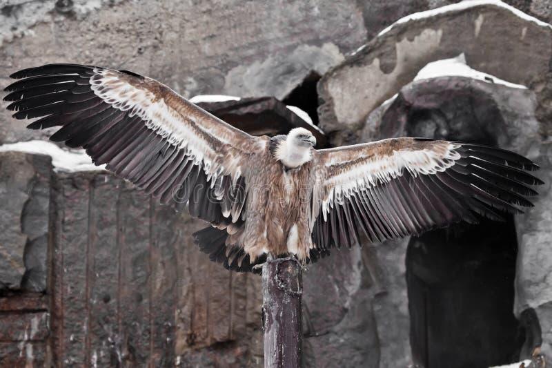 Griffon Vulture se sienta en un registro que separa sus alas enormes, el águila asiática es un limpiador foto de archivo