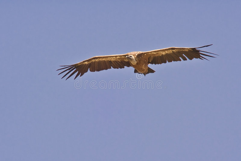 Griffon Vulture in the sky stock photography