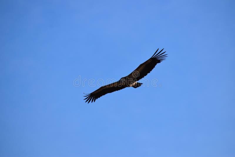 Griffon vulture on the sky stock photos