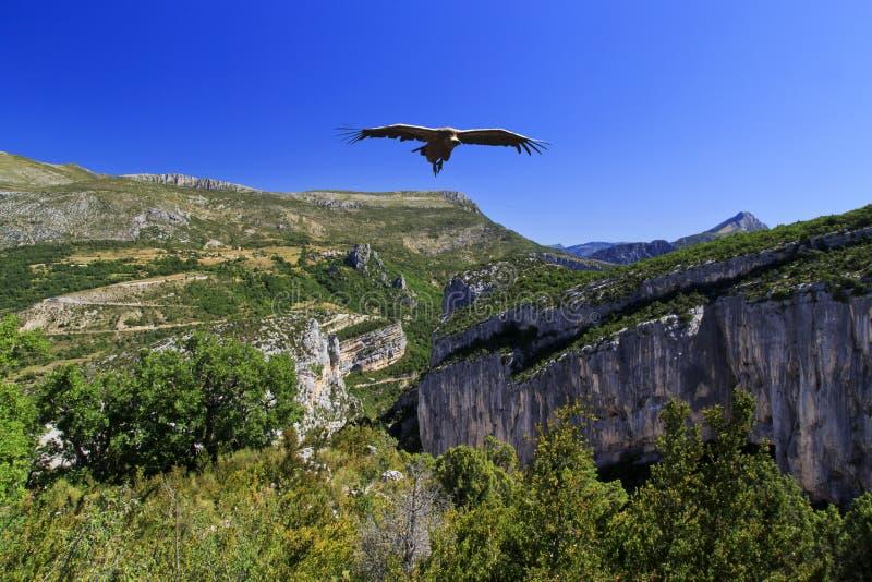 Griffon Vulture som skjuta i höjden ovanför Klyfta du Verdon arkivfoto