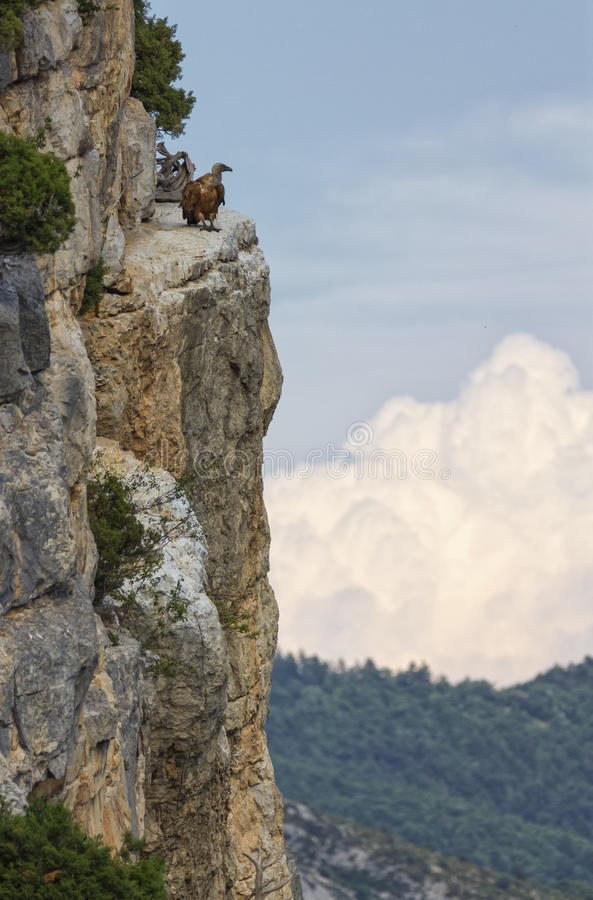 Griffon vulture standing on the cliff, Drome provencale, France. Griffon vulture standing on the side of the cliff, Drome provencale, France royalty free stock photos