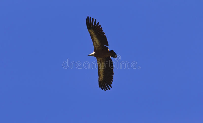 Griffon Vulture subindo; Gyps o fulvus imagem de stock royalty free