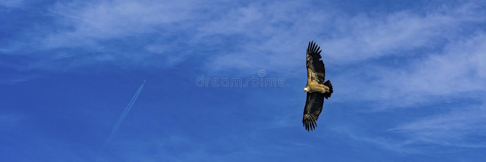 Griffon vulture taken from above while flying in the Verdon Gorges in France stock photography
