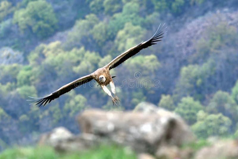 Griffon Vulture in volo, nelle montagne fotografia stock