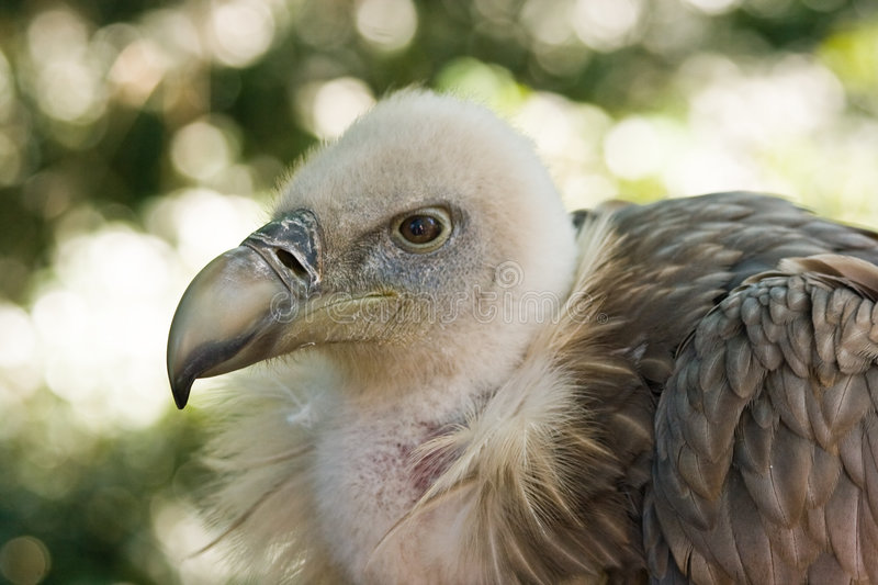 Griffon Vulture watchful. This Griffon Vulture is watchful looking and resting royalty free stock photo