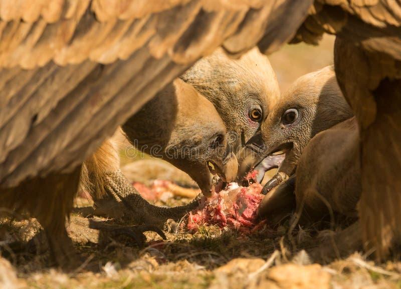 Griffon vultures feeding stock photography