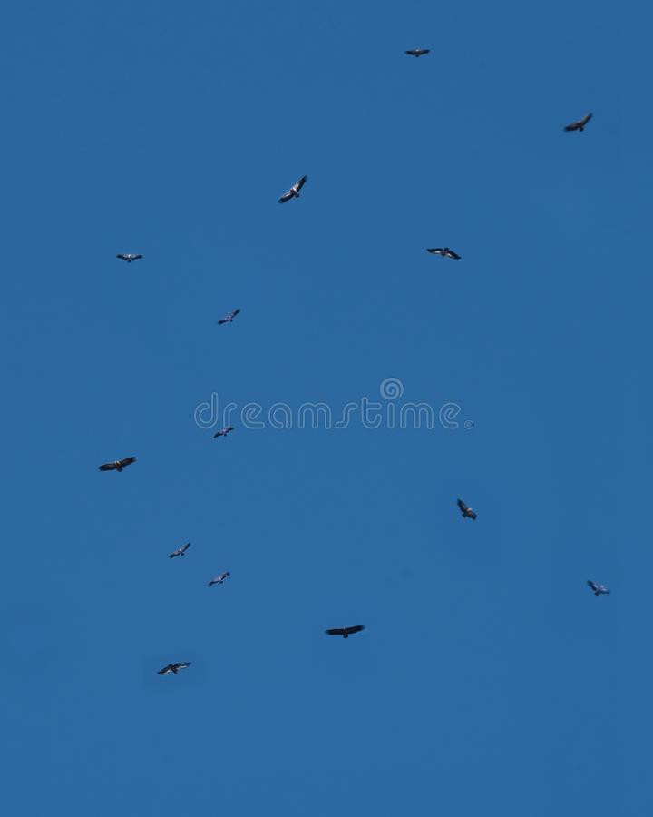 Griffon vultures in flight returning to roost, Monfrague , Spain stock image