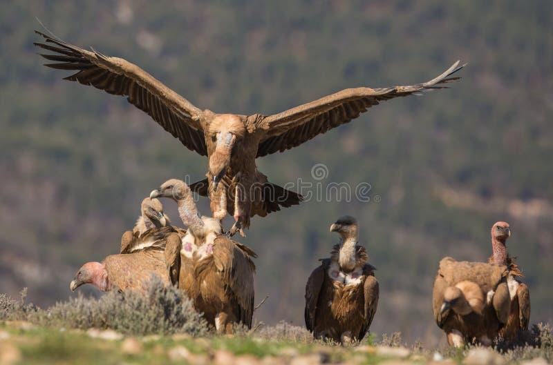 Griffon Vultures stock images