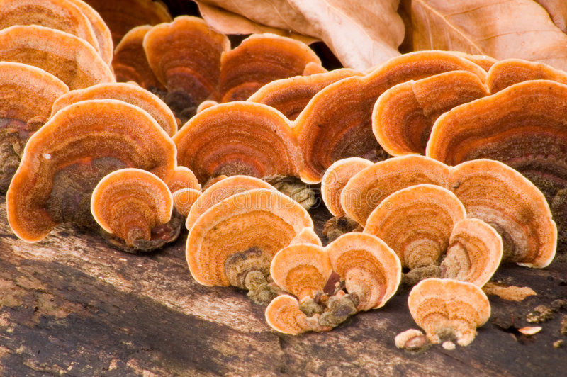 Grifola frondosa - Hen of the Woods stock images