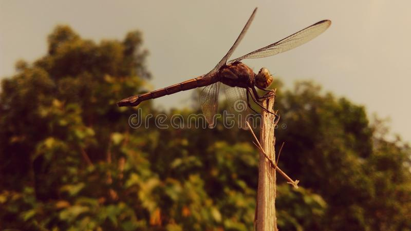 Grig. Click by Mobile : Mh Riead Photography royalty free stock image