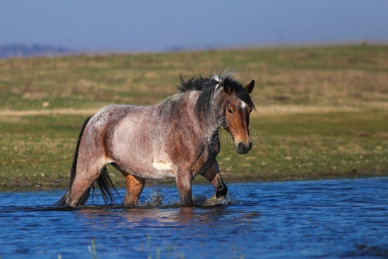 Grigio e cavallo bianco sta camminando attraverso l'acqua fotografia stock