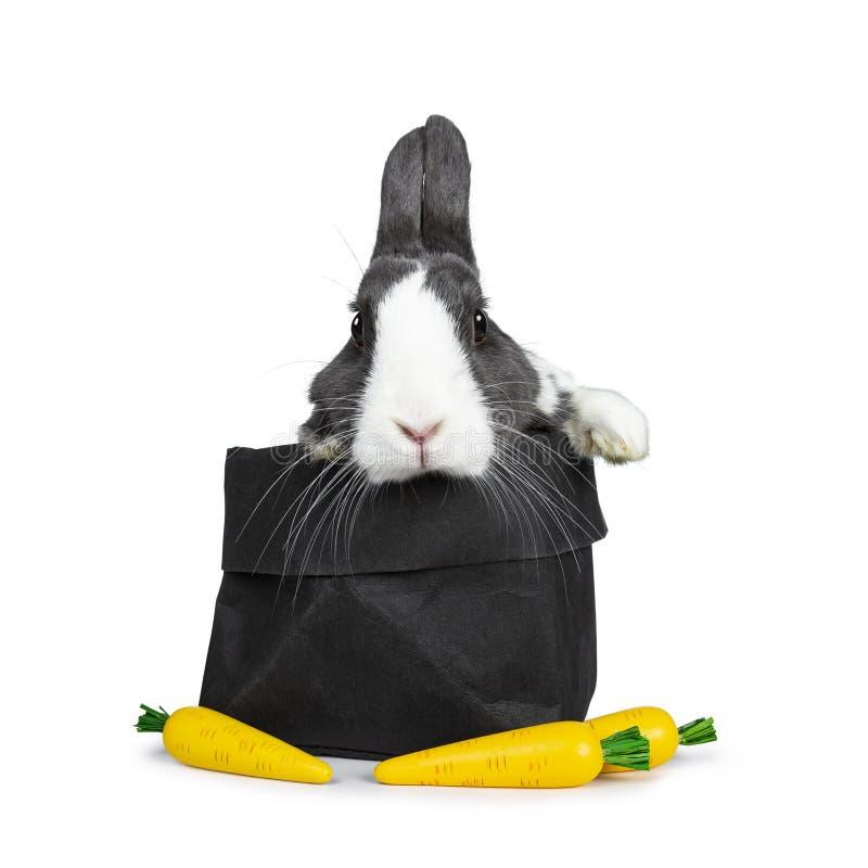Grigio sveglio con coniglio europeo bianco, isolato su fondo bianco fotografia stock
