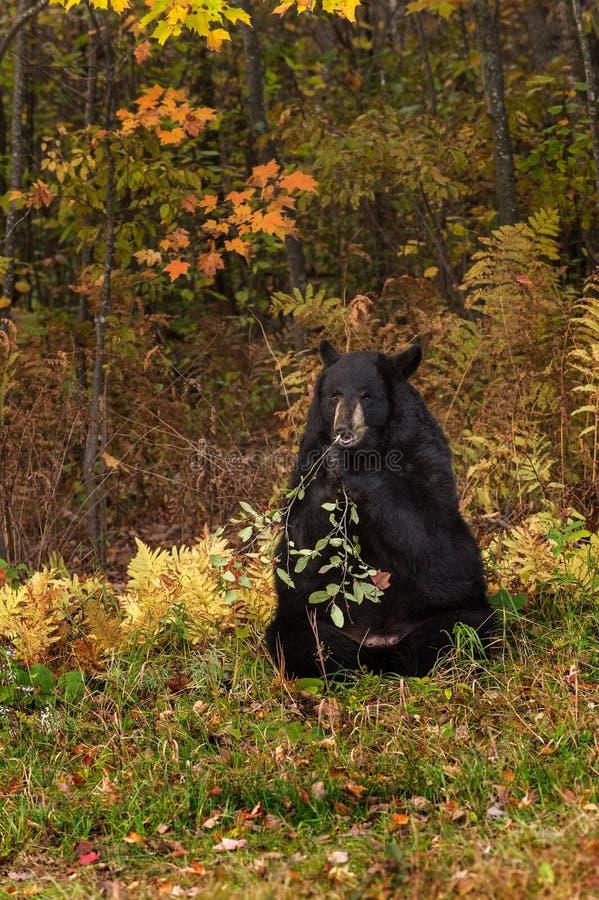 Grignotements d'ours noir de femelle adulte (Ursus américanus) photo libre de droits