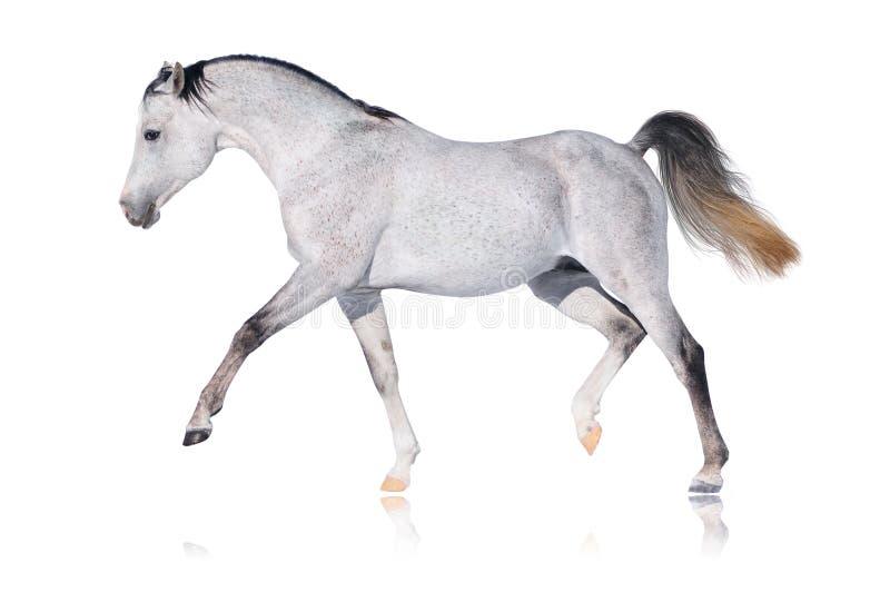 Grijs Arabisch geïsoleerdk paard royalty-vrije stock afbeelding