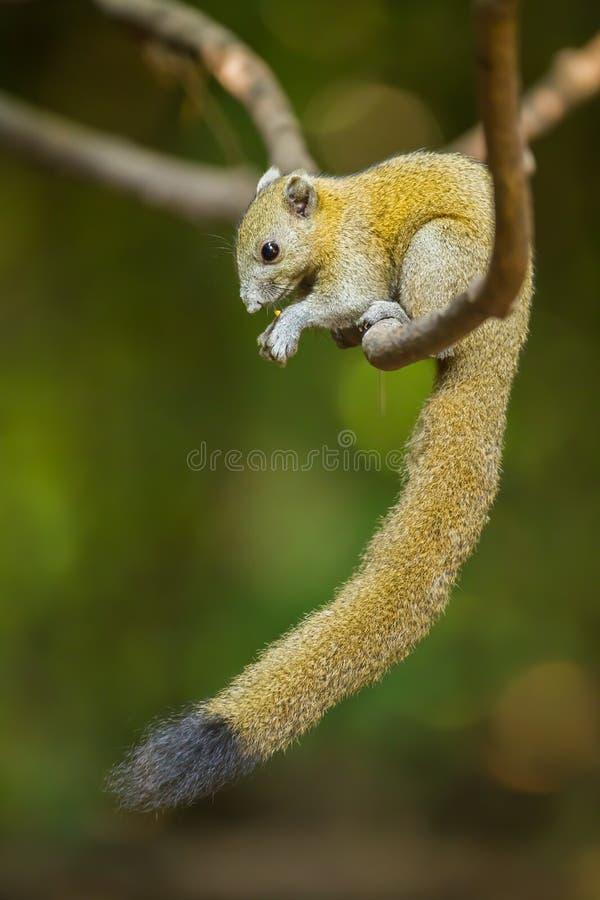 Grijs-doen zwellen Eekhoorn royalty-vrije stock afbeeldingen