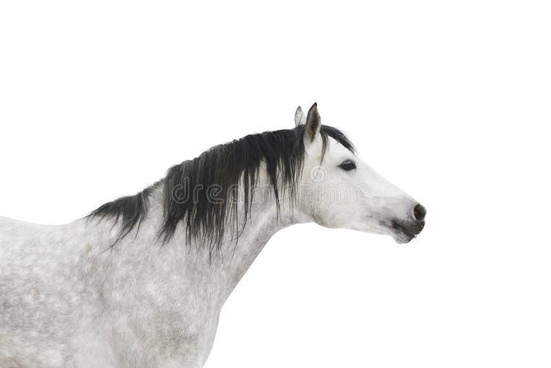 Grijs geïsoleerd paard stock foto
