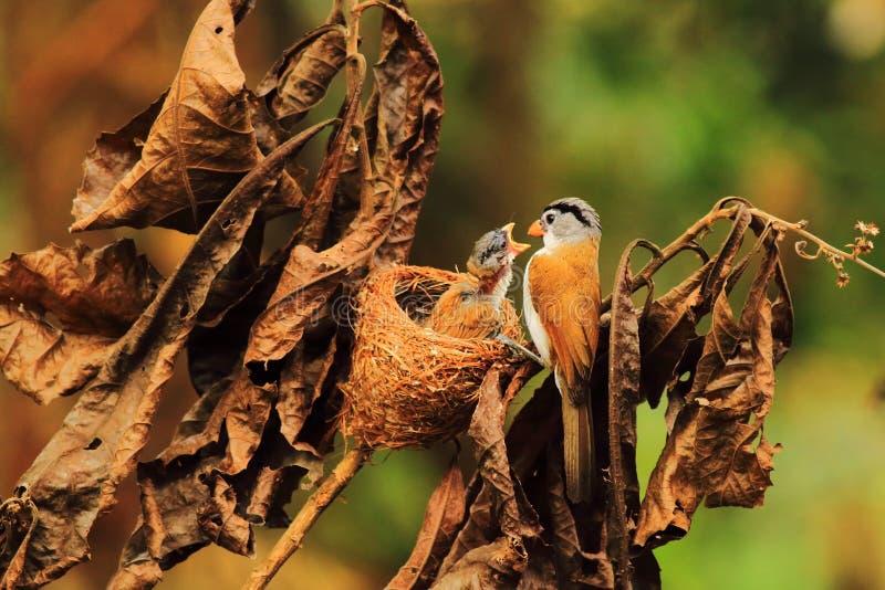 Grijs-geleid parrotbill royalty-vrije stock afbeelding