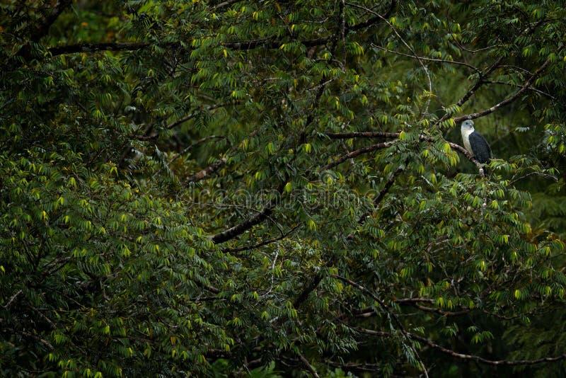 Grijs-geleide Vlieger, Leptodon-cayanensis, roofvogels in de groene vegetatie Vlieger in de aardhabitat, die op de boom zitten, royalty-vrije stock foto