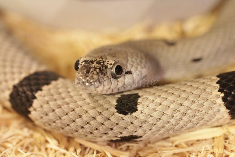 Grijs-gestreepte Koning Snake royalty-vrije stock afbeeldingen