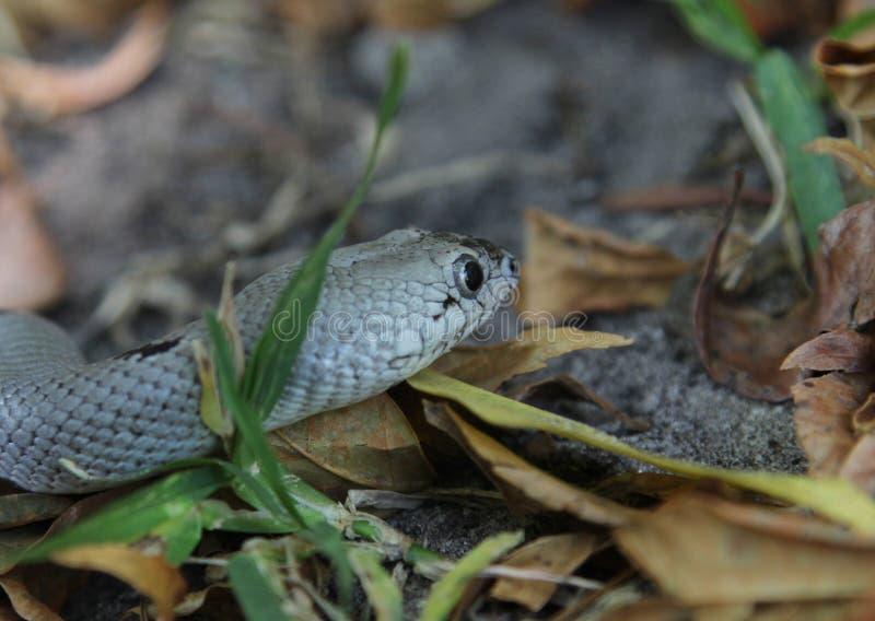 Grijs-gestreepte Koning Snake stock fotografie