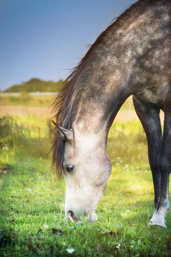 Grijs geweid paard, dichte omhooggaand royalty-vrije stock fotografie