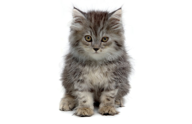 Grijs katje stock afbeelding