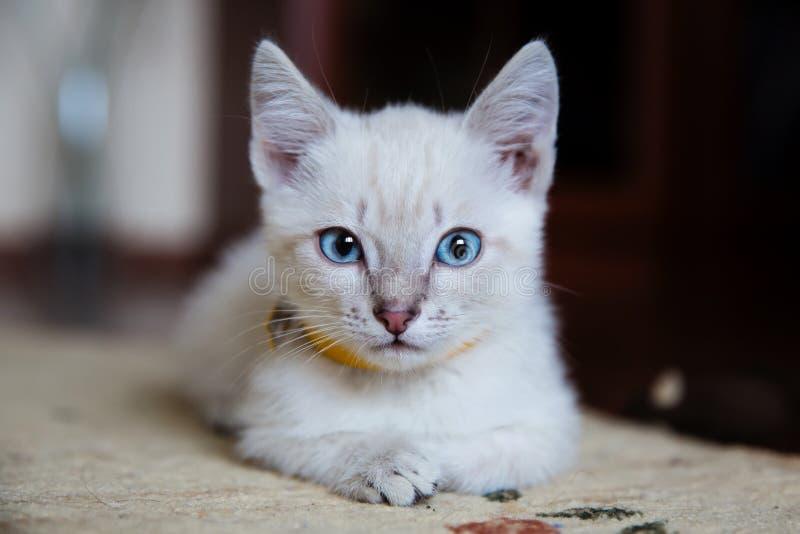 Grijs katje met blauwe ogen stock foto