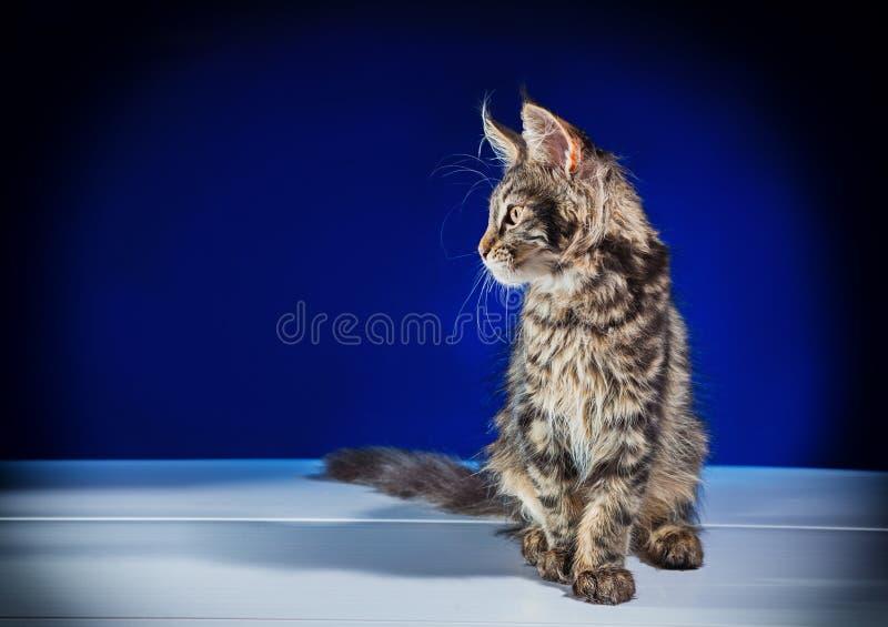 Grijs katje met pluizig haar op een blauwe achtergrond stock fotografie