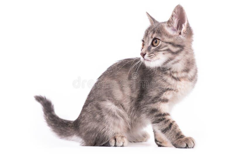 Grijs katje op een witte achtergrond stock afbeeldingen