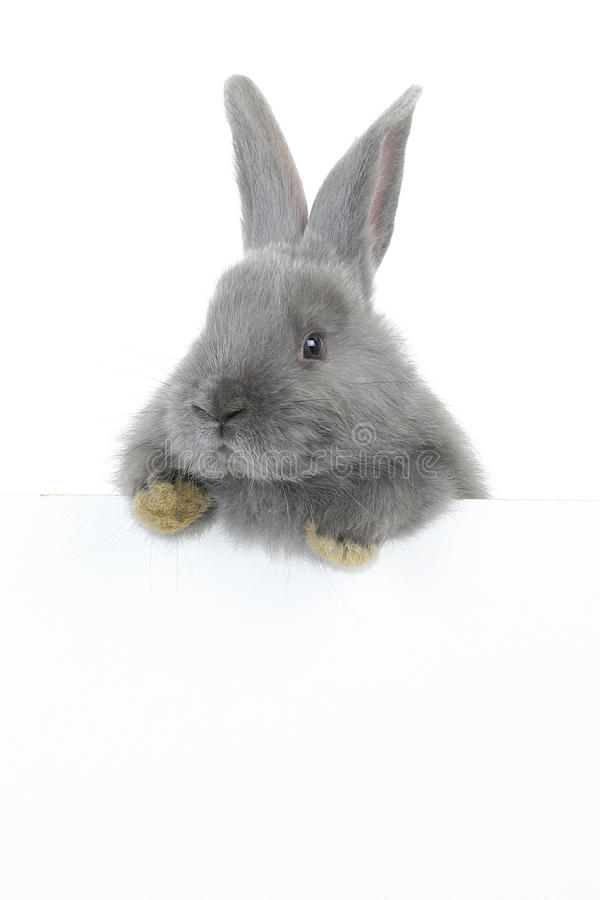 Grijs konijn stock foto's