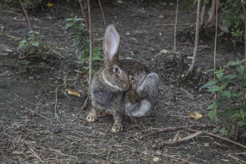 Grijs konijn royalty-vrije stock foto's