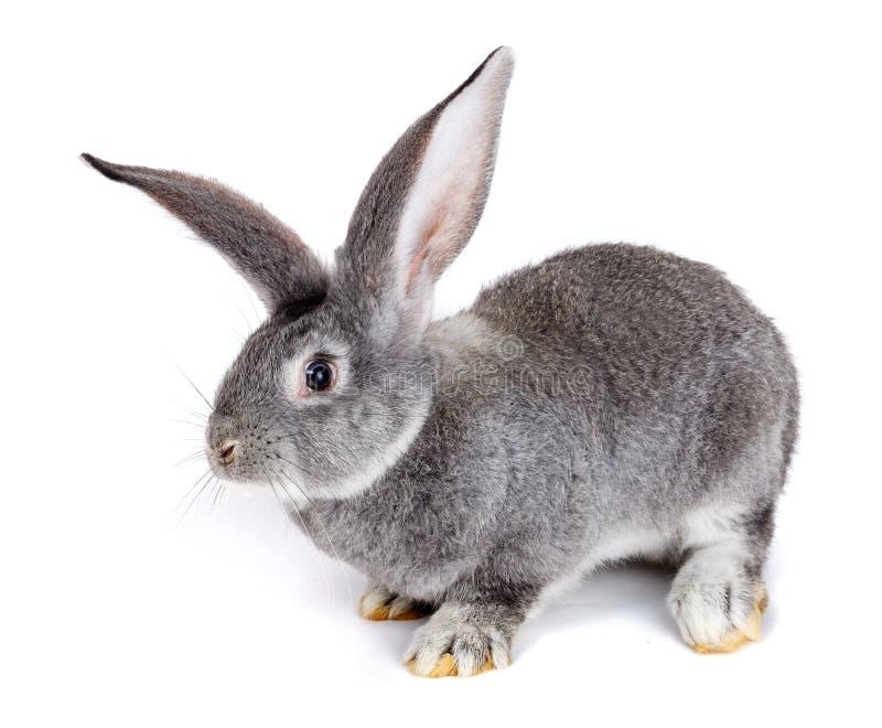 Grijs konijn op witte achtergrond stock afbeelding