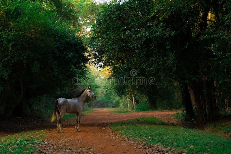 Grijs paard die zich op de weg in donker zonsondergangbos bevinden stock fotografie