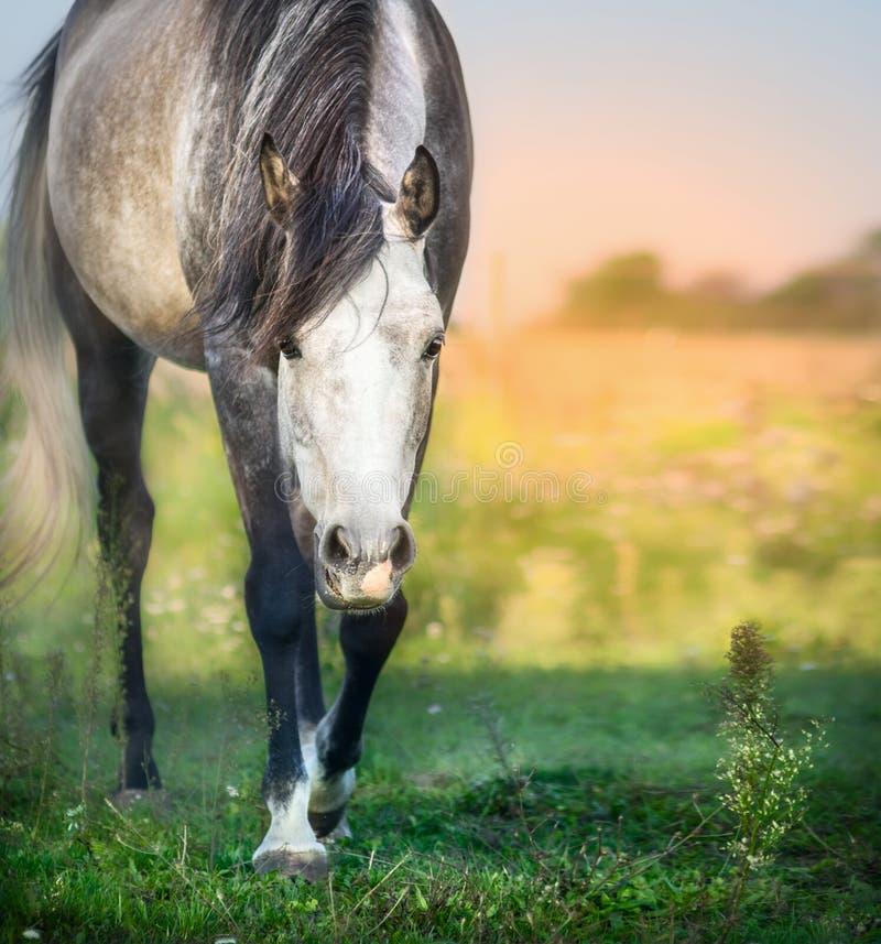 Grijs paard op het weiland van de de zomerzonsondergang royalty-vrije stock foto