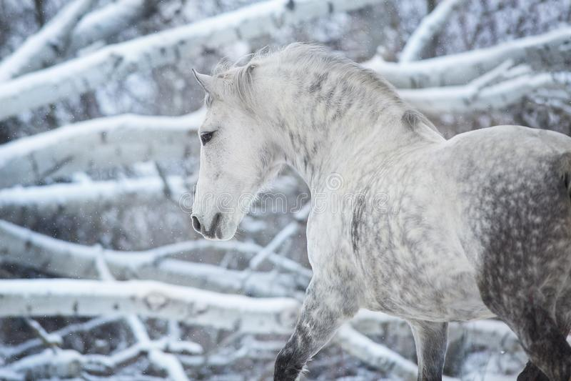Grijs paardportret stock afbeeldingen